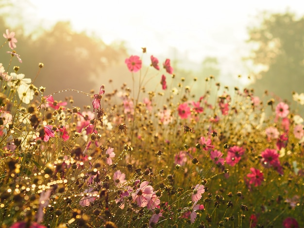 Silhouette pink cosmos flower in the field over sunrise sky