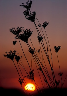 Silhouette of queen anne's lace