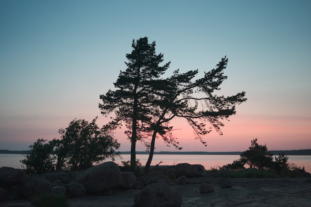 Silhouette of several pine trees on the shore. white nights period