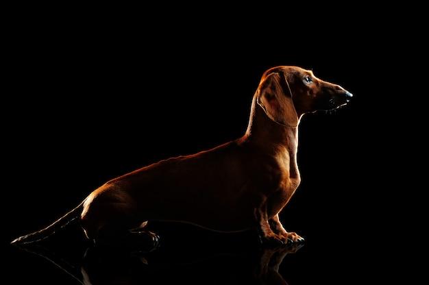 Silhouette of a sitting  dachshund