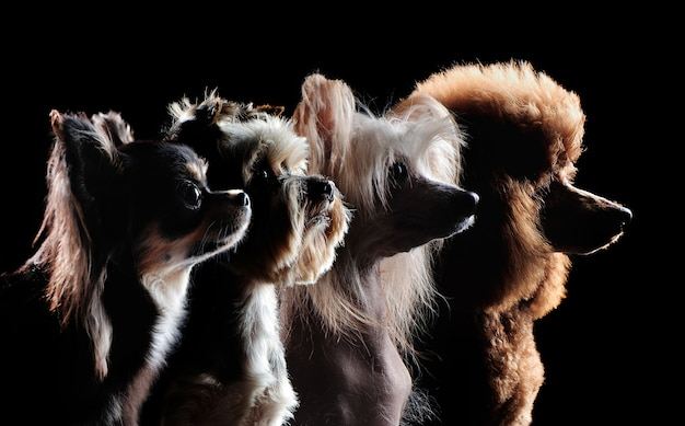 Silhouette of small decorative breed dogs