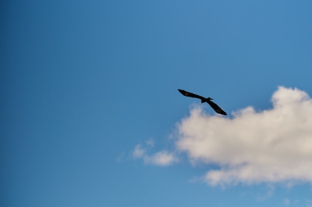 Silhouette steppe eagle flying under the bright sun and cloudy sky in summer.