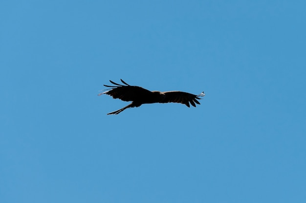 Silhouette steppe eagle flying under the bright sun and cloudy sky in summer
