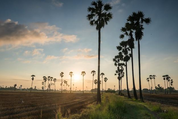 Dongtan sam khok pathum thani thailand 농업 식품 산업의 실루엣 설탕 야자 일출
