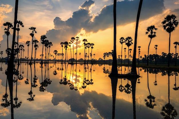 タイ、パトゥムターニー県、ドンタンサムコックの日の出の水に黄色の光と雲の反射を持つシルエットの砂糖椰子の木。サイアムの有名な旅行先や写真のランドマーク。