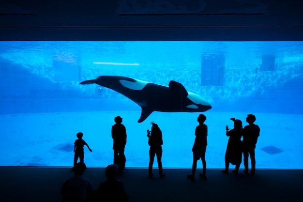 The silhouette of tourists watching an orca or killer whale whale at the aquarium.