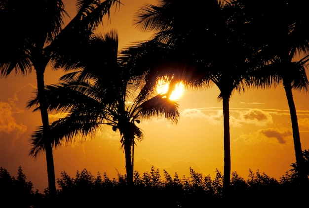 Silhouette of tropical palm trees with sunset in background