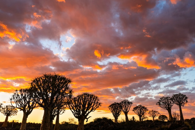 Silhouette view of quiver trees forest with beautiful sky sunset twilight sky scene in keetmanshoop, namibia.