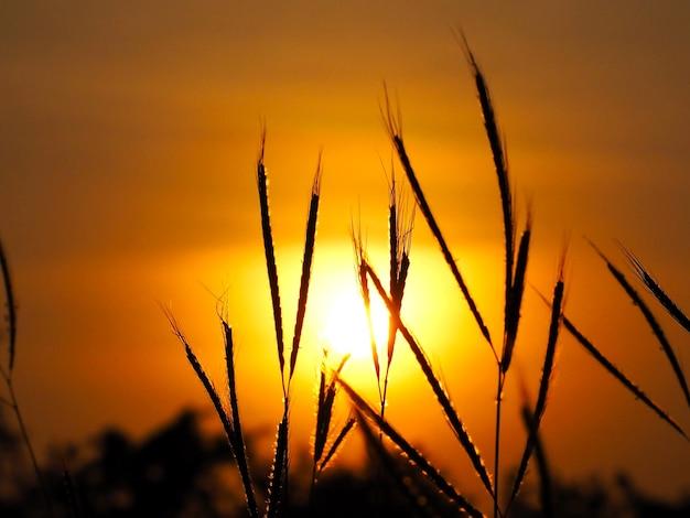 아침에 실루엣 야생 초 꽃밭입니다. 황금빛 일출 또는 일몰 시간.