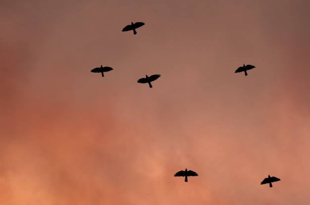 Silhouettes of black birds in the red sky.