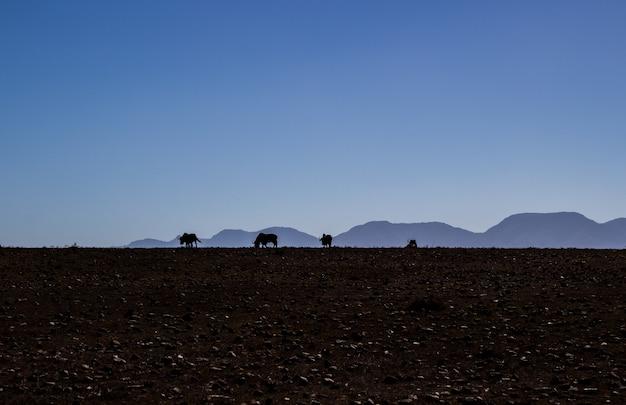 澄んだ空と野原で放牧している牛のシルエット
