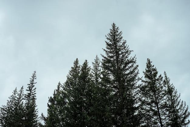 曇り空のモミのトップスのシルエット。大気中の最小限の森の風景。灰色の曇り空を背景に緑の針葉樹のてっぺん。ウッディミステリー風景。