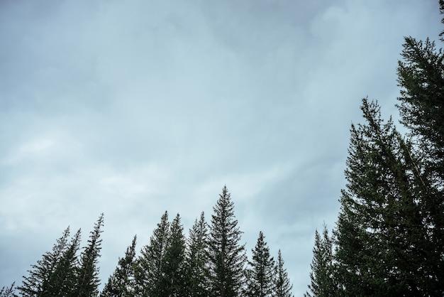 曇り空の背景にモミのトップスのシルエット。大気中の最小限の森の風景。灰色の曇り空を背景に緑の針葉樹のてっぺん。