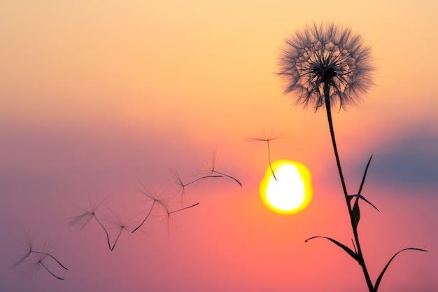 夕焼け空を背景に飛んでいるタンポポの種のシルエット。花の自然と植物学