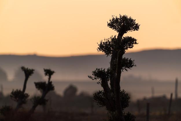 農地のオリーブの木のシルエット