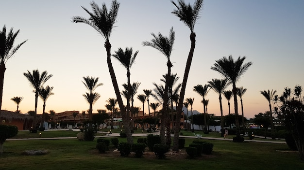 Силуэты пальм против неба во время заката. кокосовые пальмы, тропическое дерево египта, летнее дерево. семейство однодольных, древесных растений с неразветвленными стволами.
