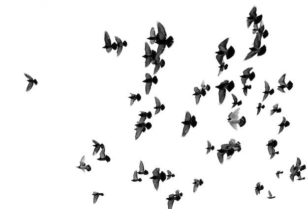Силуэты голубей, изолированные на белом фоне