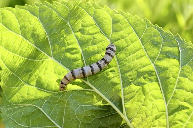 Silkworm ringed silk worm on mulberry green leaf