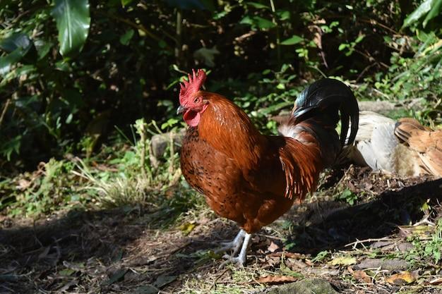 주위를 배회하는 부드러운 검은 색과 갈색 닭