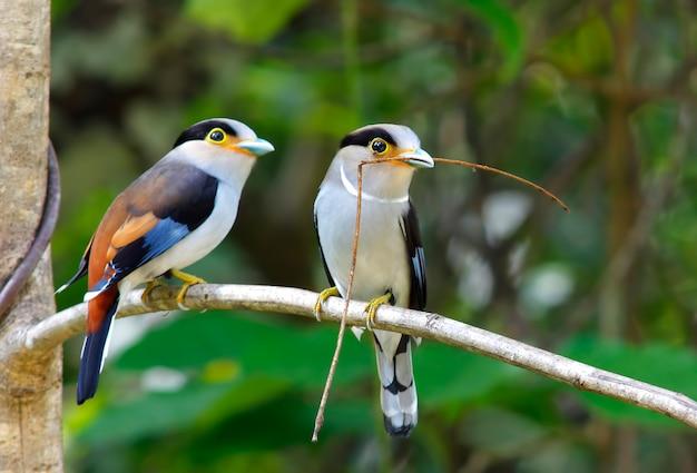태국의 은빛 가슴 broadbill serilophus lunatus 아름다운 새들