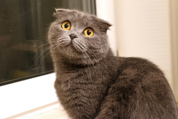 Silver british fold cat