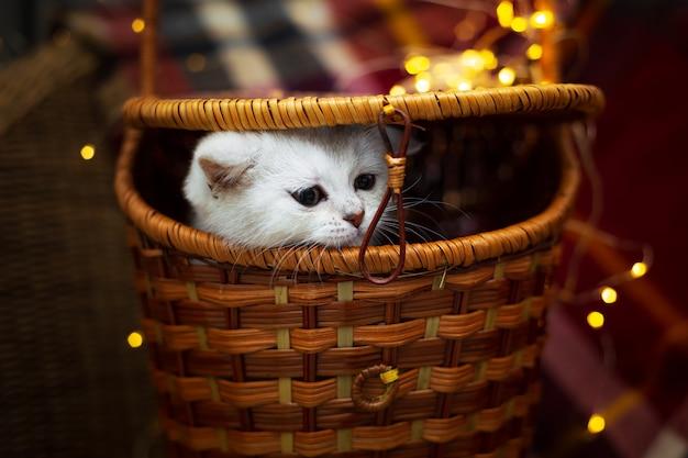 Серебряный милый британский котенок выглядывает из плетеной корзины.