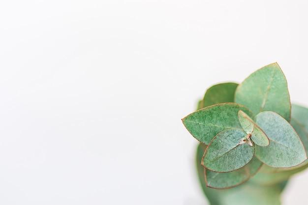 Silver dollar eucalyptus branch on white background.