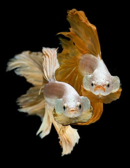 Silver gold long half moon betta fish.
