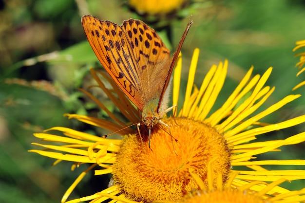Серебряная жемчужная бабочка (argynnis paphia) на желтом цветке.