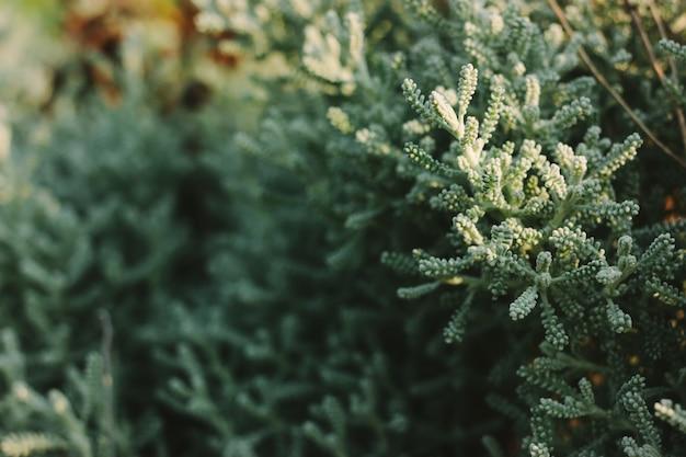 향기로운 정원에서 실버 Santolina Chamaecyparissus 식물. 정원 화창한가 아침에시 든, 말린 꽃. 프리미엄 사진