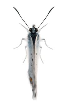 Усыпанный серебром синий, plebejus argus - вид чешуекрылых, называемый также hairstreak butterfly, на белом фоне