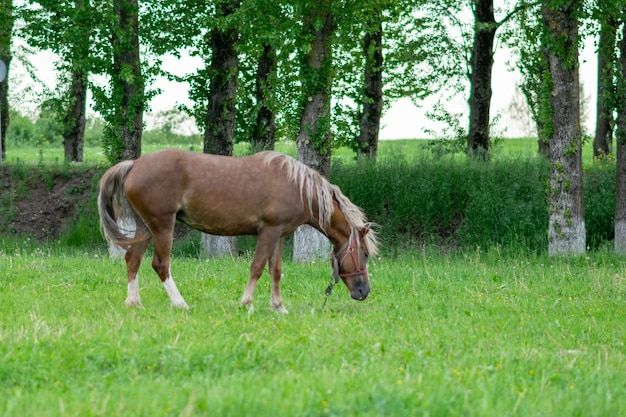 Silvery bay horse in a field on a paddock. high quality photo