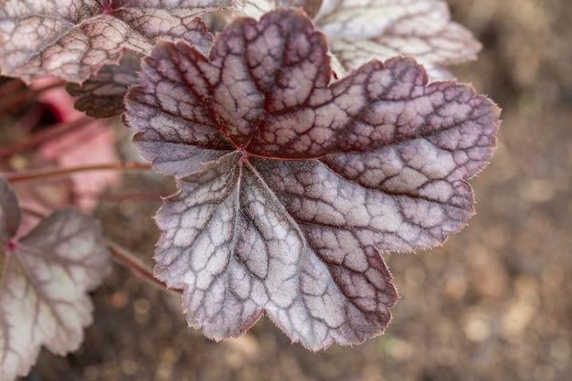 春の暗赤色の静脈を持つ銀色の葉のheucheraガーデニングの趣味多年生の花の造園