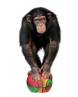 Молодой шимпанзе играет с баллоном - троглодиты simia на белом изолированные
