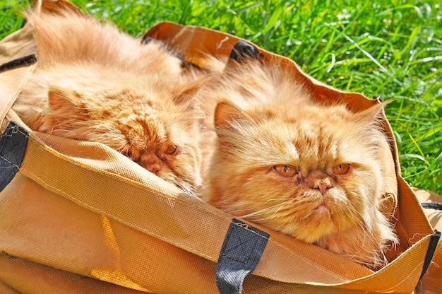 Похожие красные смешные персидские кошки в сумке снаружи на зеленой траве