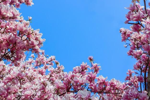 Простая рамка из натуральных розовых цветов магнолии на фоне голубого неба