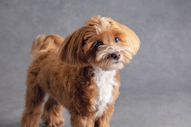 성실한 친구. 말티푸 작은 강아지가 포즈를 취하고 있습니다. 회색에서 노는 귀여운 장난 갈색 개