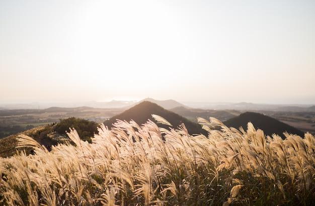 Красивая серебряная трава или мискантус sinensis острова чеджу в корее осенью.
