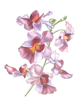 Singapore flower, illustration of vanda miss joaquim flowers. the national flower of singapore. watercolor hand drawn violet orchid isolated