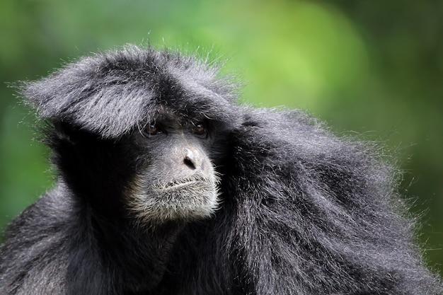 그을음 긴팔 원숭이 siamang 영장류 근접 촬영 동물 근접 촬영