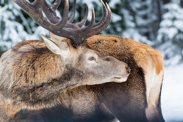 Single adult noble deer with big beautiful horns licking fur on winter forest