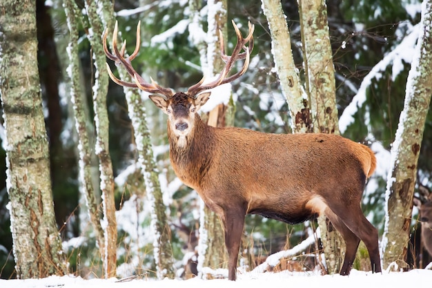 Single adult noble deer with big beautiful horns in winter forest with snow. european wildlife landscape with snow and deer with big antlers.