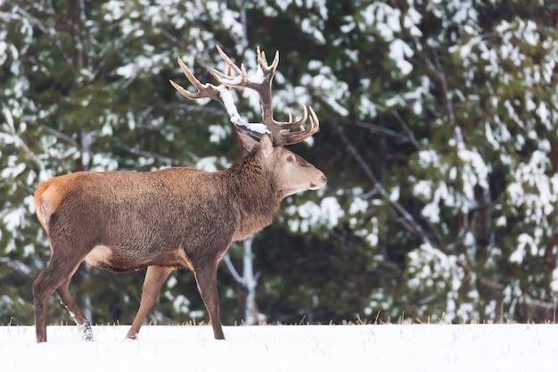 Один взрослый благородный олень с большими красивыми рогами со снегом в зимнем лесу.
