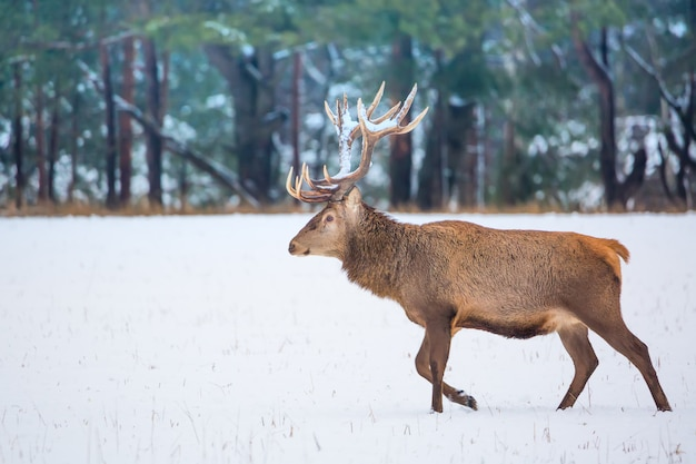 Single adult noble deer with big beautiful horns with snow walking on winter forest background