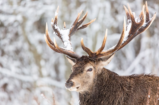 Single adult noble deer with big beautiful horns with snow on winter forest