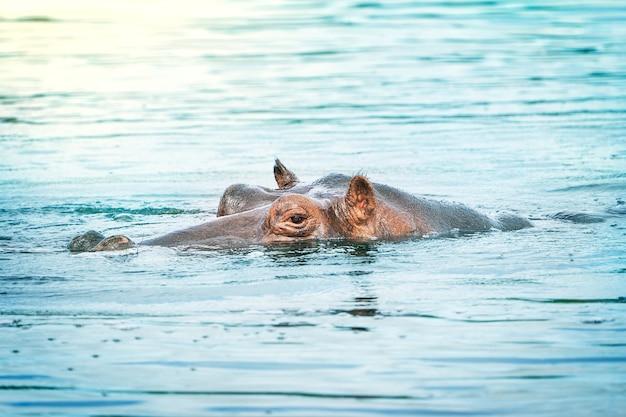연못의 푸른 물에서 평화롭게 쉬고 회색 하마의 단일 동물 머리 초상화