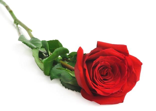 Одиночная красивая красная роза на белом фоне