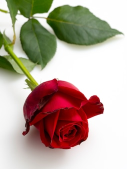 Single beautiful red rose  on white