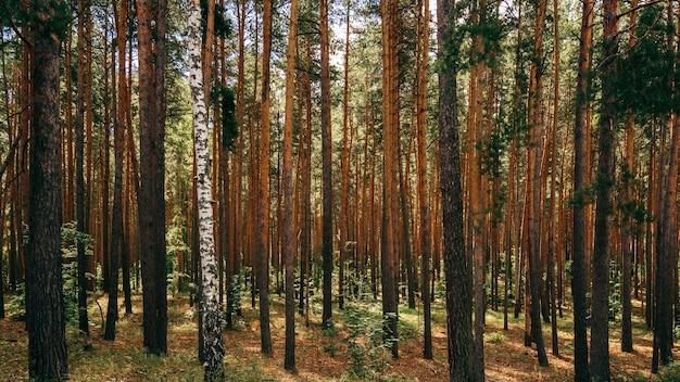 Одиночная береза между соснами. лесной задний план.