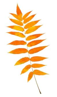 秋の色のパレットで描かれたアッシュベリーの単一の明るいマルチカラーの葉、クローズアップ、白い背景で隔離